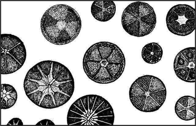 Vintage diatom drawings